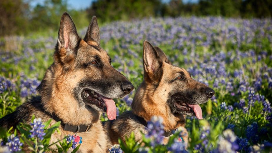 Welcome To Austin German Shepherd Dog Rescue Austin German