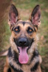 Welcome to Austin German Shepherd Dog Rescue | Austin German